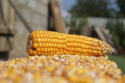 Рынок кукурузы находится в неопределенности