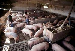 Рынок американской свинины может начать рост