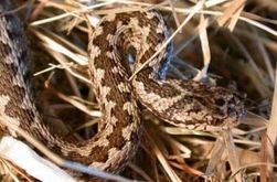 Нынешним жарким летом Украину атакуют ядовитые змеи