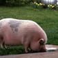 Эксперты: рынок свинины обновил июльский максимум