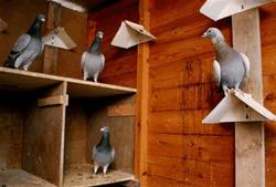 Китайский бизнесмен Ху Чжэнь Юй инвестировал 400 тысяч долларов в... голубя