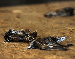 Массовая гибель птиц и рыб