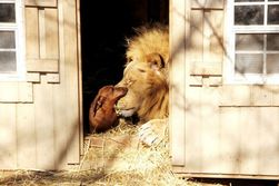 ТОП видео Youtube: дружба льва и таксы