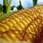 Рынок кукурузы пока торгуется во флете
