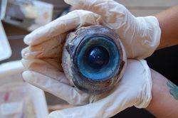 Ученые узнали, кому принадлежит найденный во Флориде гигантский глаз