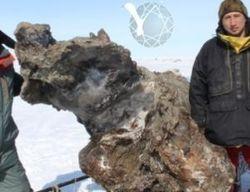 Ученые нашли уникальную тушу мамонта на Новосибирском архипелаге