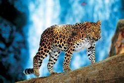 Газпромовская труба вторгнется в ареал обитания вымирающих леопардов