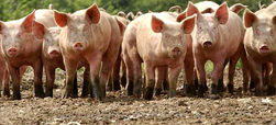 Эксперты: рынок свинины склонен к росту