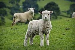 600 овец, угнанных из Узбекистана в Таджикистан, якобы, загрызли волки