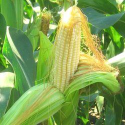 Рынок кукурузы готов установить годовые минимумы