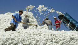 Хлопкоробы Казахстана требуют зарплату