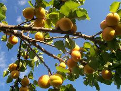 Армения может потерять абрикосовые сады