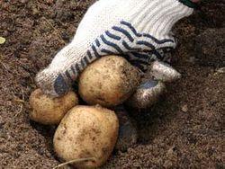 Как скажется жара на урожае картофеля в Украине