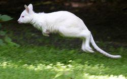 На бывшей страусиной ферме в Эстонии родился уже третий кенгуру-альбинос