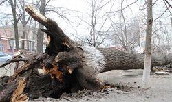 Рухнувшее огромное дерево чуть не убило детей во дворе в Николаеве
