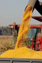 В США уверены в перспективном урожае кукурузы