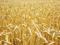 Рост цен на пшеницу вызван неожиданно высокими показателями экспорта - трейдеры