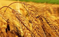 В Европе и США 10 декабря контракты на пшеницу подешевели
