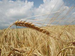 В четверг пшеничные котировки продолжили стремительное падение