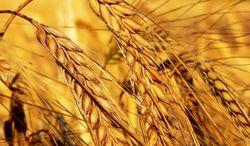С некоторым повышением остановилось падение пшеницы в США и Европе в среду