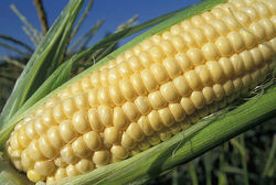 Трейдерам: рынок кукурузы продолжает падать