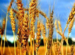 Вслед за пшеничными котировками в США в четверг упали и европейские