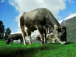 В кыргызском заповеднике пасут скот