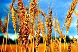 МСХ США рапортовало о конечных запасах зерновых в 2012-2013 МГ