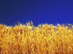 Рынок пшеницы: котировки подешевели в США, не изменились в Европе