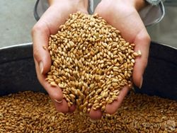 Крупнейший производитель пшеницы в ЕС теряет свои позиции