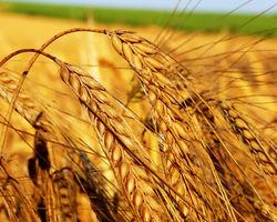 Пшеничные котировки на американских биржах в среду вновь понизились