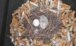 Птицы открыли неожиданные возможности применения окурков