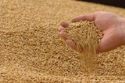 В Китае растёт спрос на казахстанскую пшеницу