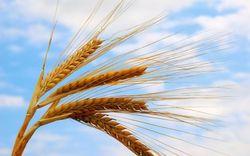 Более 9 млн. тонн зерна ушло на экспорт в России