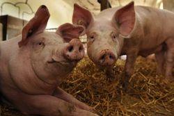 Американская трагедия: фермера из Орегоны съели его же свиньи