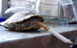 Не по Дарвину: В Китае живет черепаха, выкуривающая до 10 сигарет в день
