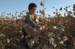 HRW: Меньше детей, больше взрослых – как собирают хлопок в Узбекистане