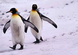 Ученые узнали как пингвинам удается выживать месяцами без пищи
