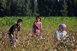 МОТ: эксплуатация детей на хлопковых полях Узбекистана продолжается