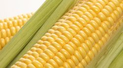 Казахстан запретил импорт и продажу кукурузы, содержащую высокий процент ГМО
