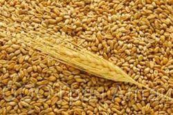 Фьючерс пшеницы матровской серии торгуется на минимальной отметке