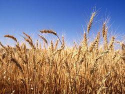 Экспорт аргентинской пшеницы в текущем году будет на уровне 6,3 млн. тонн