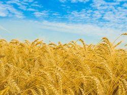 Трейдеры биржи о перспективах рынка пшеницы
