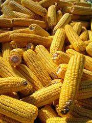 Производство кукурузы в Болгарии упадёт из-за засухи на 26 процентов