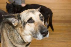 Ученые США: клетки носа собаки лечат паралич