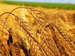 По цене ниже рыночной на 20 процентов продано первое зерно на зерновом рынке