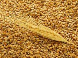 Закрома Казахстана пополнились 1,8 тыс. тонн зерна за одни сутки