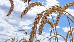 Будущий урожай зерновых в России под вопросом