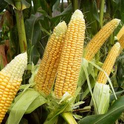 Вместе с увеличением спроса растёт и цена на кукурузу