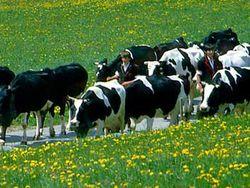 Селекционеры вывели породу коров с антиаллергенным молоком